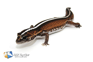 african fat-tailed gecko super zero adult breeder male