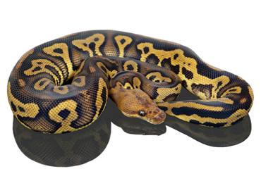 Leopard Stranger Clown Ball python