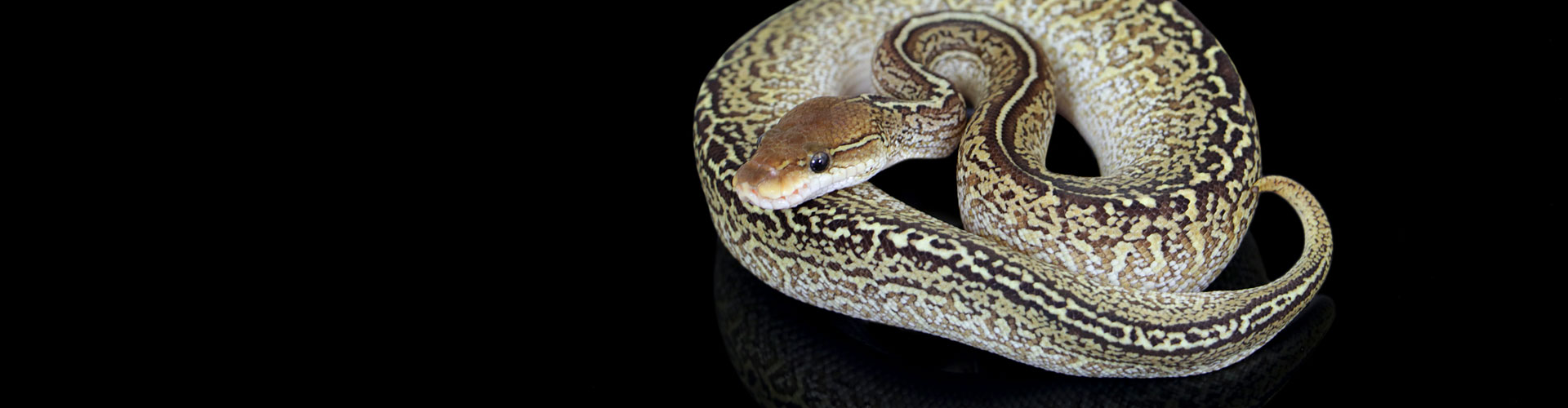 Available Ball pythons  Here you can find our Ball python