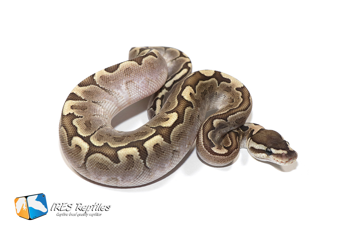 Available Ball Pythons Here You Can Find Our Ball Python Python