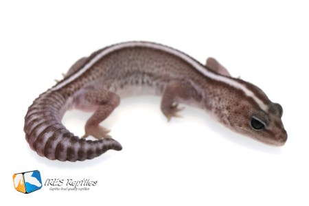Super Zero Oreo - Fat-tail gecko ( 2019-013 )