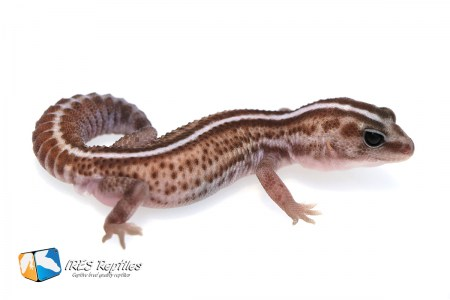 Super Zero - Fat-tail gecko ( 2019-027 )