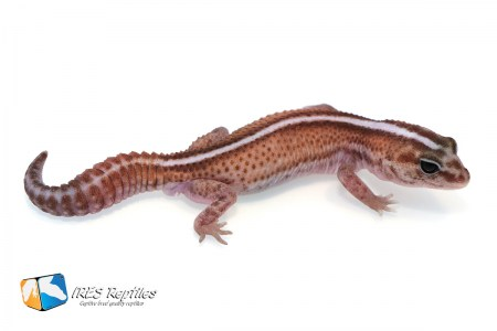Super Zero - Fat-tail gecko ( 2019-022 )