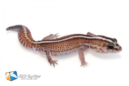 Super Zero possible het Oreo - Fat-tail gecko ( 2019-029 )