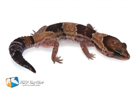 Het Super Stinger possible het Oreo - Fat-tail gecko ( 2019-030 )