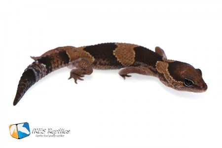 DH Oreo Patternless - Fat-tail gecko ( 2019-032 )