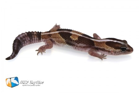 Het Super Zero possible het Oreo - Fat-tail gecko ( 2019-034 )