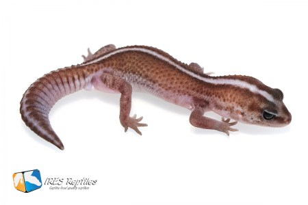 Super Zero - Fat-tail gecko ( 2019-043 )