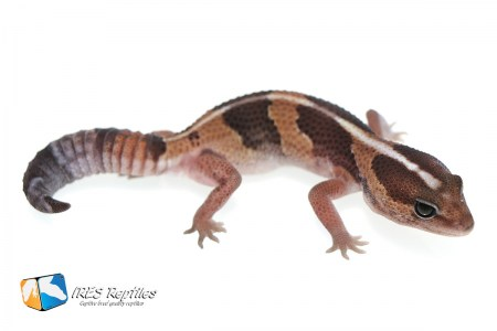 Het Super Zero possible het Oreo - Fat-tail gecko ( 2019-054 )