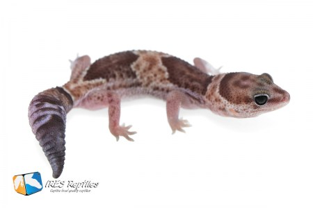 Het Super Stinger possible het Oreo - Fat-tail gecko ( 2019-055 )