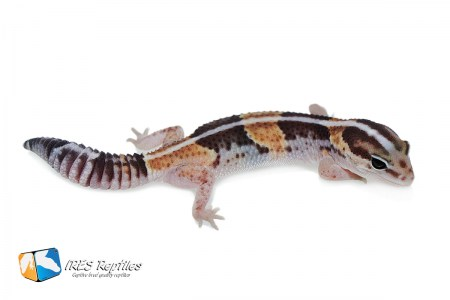 Het Super Zero possible het Oreo - Fat-tail gecko ( 2019-056 )