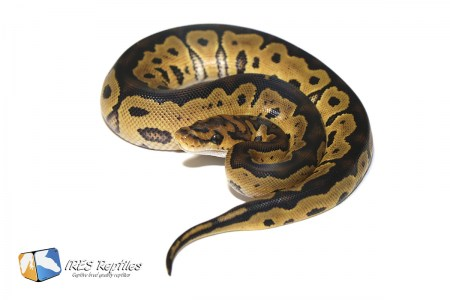 Clown 66% het Genetic Stripe - Ball python ( 30-11-PH19-2020-IR-ADF )