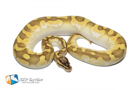 Butter Pastel Enchi Calico - Ball python ( 30-114-2017-IR-JJM )