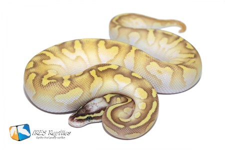 Butter Super Pastel Enchi Calico - Ball python ( 30-114-2019-IR-DAS )