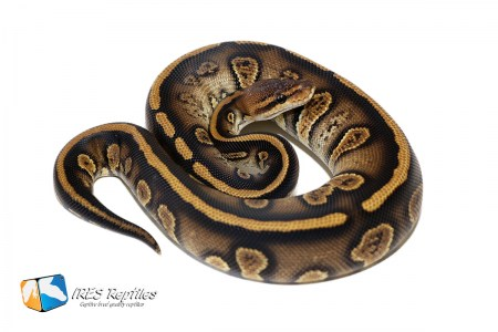 Stranger het Clown - Ball python ( 30-121-H11-2019-IR-OSP )