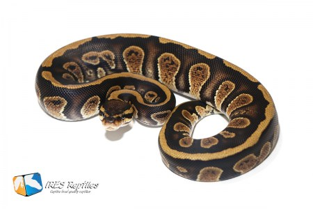 Stranger het Clown - Ball python ( 30-121-H11-2019-IR-TGB )