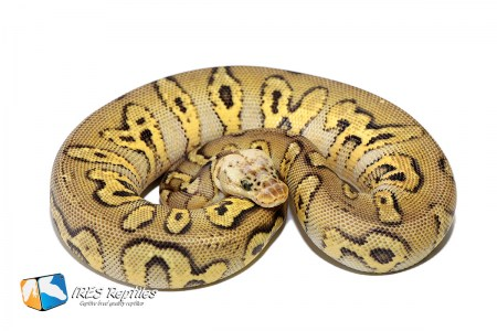 Pastel Stranger Clown - Ball python ( 30-124-2019-IR-PIO )