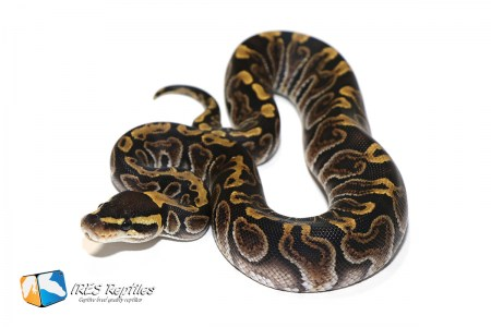 GHI het Clown - Ball python ( 30-128-H11-2019-IR-KHJ )