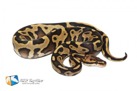 Fire Leopard double het Clown Genetic Stripe ( 30-138-H11-H19-2019-IR-KBC )