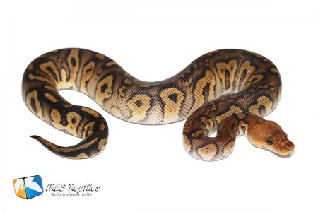 Stranger Clown - Ball python ( 30-161-2019-IR-DSA )