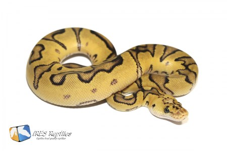 Pastel Enchi Clown 66% het Genetic Stripe - Ball python ( 30-200-PH19-2020-IR-PSD )