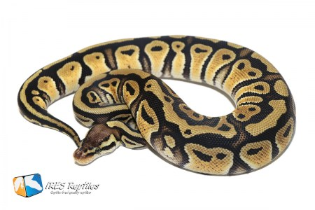 Pastel Double het Clown Genetic Stripe - Ball python ( 30-29-H11-H19-2019-IR-ZMB ) ( Sold in combination with a male only )