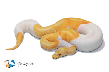 Pastel Dreamsicle - Ball python ( 30-370-2019-IR-URT )