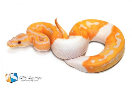 Dreamsicle - Ball python ( 30-370-2019-IR-YER )