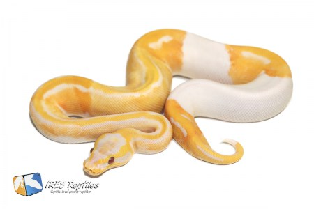 Pastel Dreamsicle - Ball python ( 30-370-2020-IR-HGF )