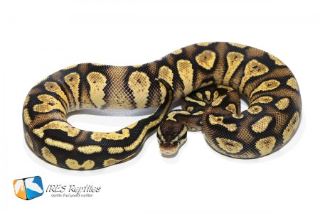 Pastel Stranger Yellow Belly - Ball python ( 30-374-2019-IR-IOP )