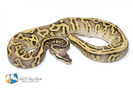 Super Pastel Leopard DH Clown Genetic Stripe - Ball python ( 30-378-H11-H19-2019-IR-RTR )