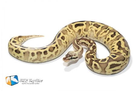 Leopard Firefly Yellow Belly - Ball python ( 30-380-2019-IR-ZXC )