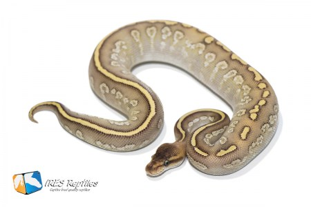 Phantom Crystal Stranger - Ball python ( 30-382-2019-IR-PAP )