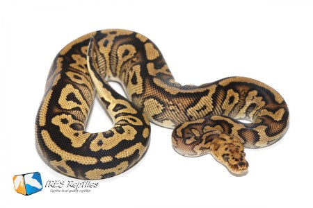 Spotnose Stranger Clown - Ball python ( 30-386-2019-IR-SAP )
