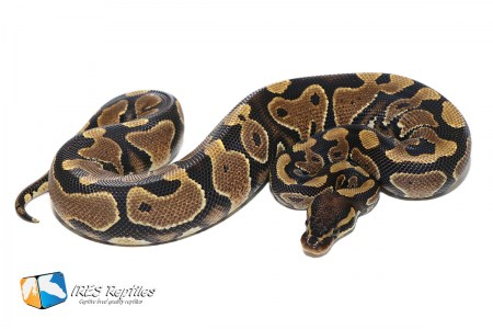 Asphalt possible het Clown - Ball python ( 30-395-2019-IR-MEW )