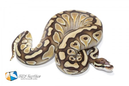 Butter Microscale het Clown - Ball python ( 30-400-H11-2019-IR-KCZ )