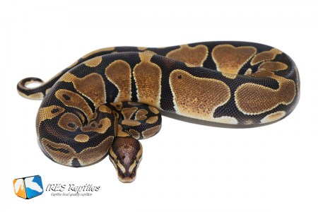 Microscale het Genetic Stripe - Ball python ( 30-401-H19-2019-IR-EWT ) )