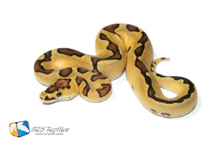 Enchi Fire Clown possible Yellow Belly - Ball python ( 30-407-2019-IR-SOA )