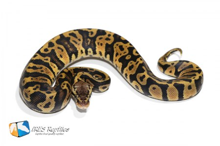 Pastel Confusion het Clown - Ball python ( 30-408-H11-2019-IR-YET )