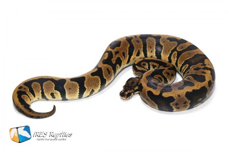 Confusion het Clown - Ball python ( 30-409-H11-2019-IR-EMQ )