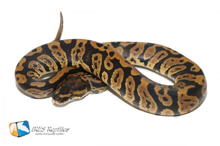 Confusion het Clown - Ball python ( 30-409-H11-2020-IR-SDF )