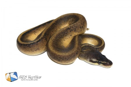 Pastel Black Head Genetic Stripe - Ball python ( 30-415-2020-IR-XVB )