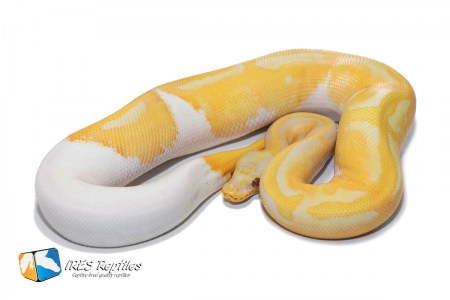 Pastel Dreamsicle - Ball python ( 30-418-2019-IR-SAF )