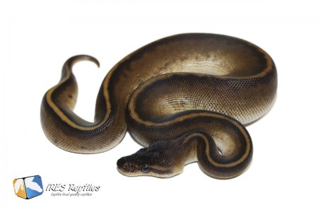 Black Head Genetic Stripe - Ball python ( 30-421-2020-IR-CXZ )