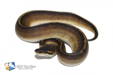 Black Head Genetic Stripe - Ball python ( 30-421-2020-IR-VCX )
