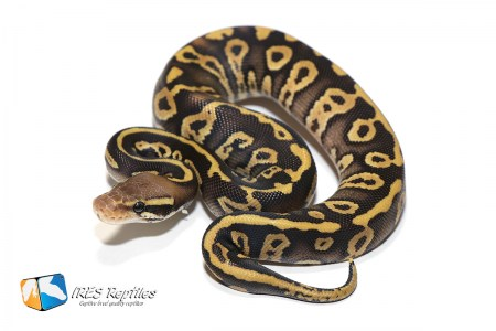 Pastave Confusion - Ball python ( 30-434-2020-IR-LZX )