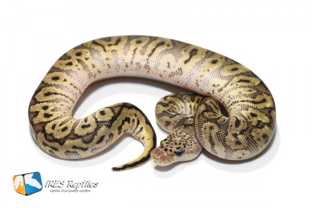 Pastel HGW Clown - Ball python ( 30-440-2020-IR-MQW )