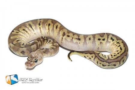 Pastel HGW Clown - Ball python ( 30-440-2020-IR-QER )