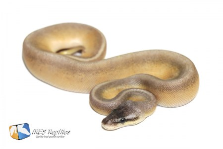 Super Pastel Black Head Genetic Stripe - Ball python ( 30-448-2020-IR-LXC )