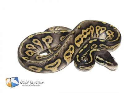 Super Pastel Black Head het Genetic Stripe - Ball python ( 30-449-H19-2020-IR-CBN )
